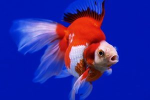 beautiful goldfish in the aquarium